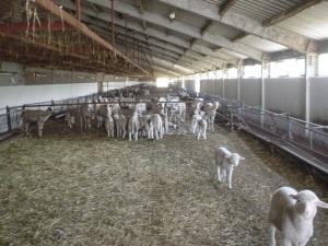 Farma jagnjad 1