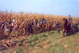 Kukuruz rucno branje