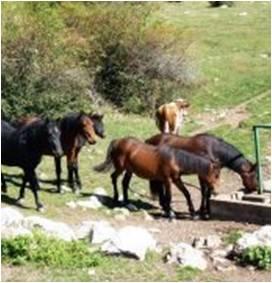 divlji-konji-na-suvoj-planini