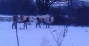 krave-na-snegu-alakince